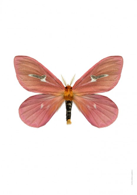 Pink moth A4 utan webb