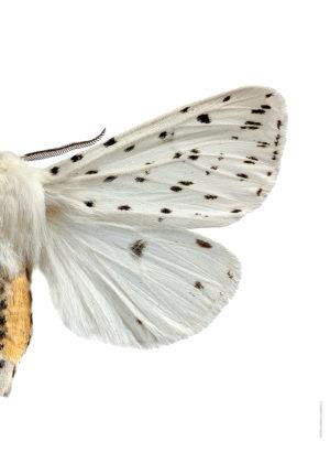 Prickig tigerspinnare A4 halv höger webb