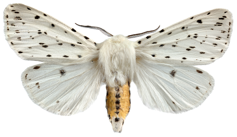 Prickig tigerspinnare 4050 utan webb