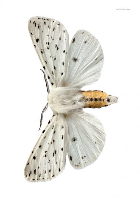 Prickig tigerspinnare A4 utan webb