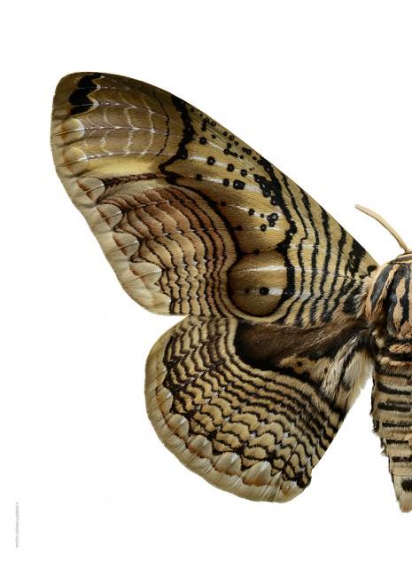 Brahmaea wallichii halv vänster A4 webb