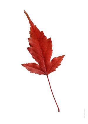 Ginnalalönn, Acer tataricum ginnala A4 utan