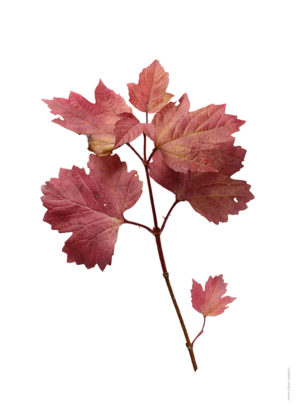 Olvon Viburnum opulus A4 utan