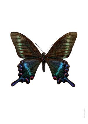 Papilio maackitutanus A4 utan