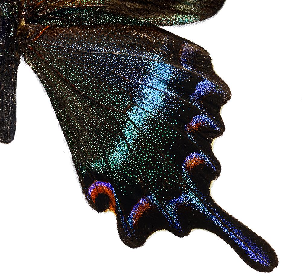 Papilio maackitutanus utsnitt