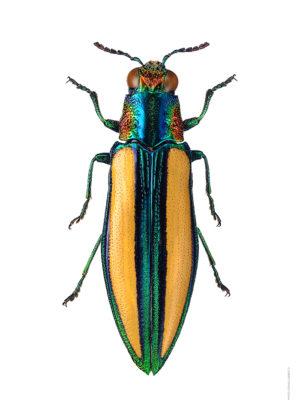 Chrysochroa lepida A4 utan