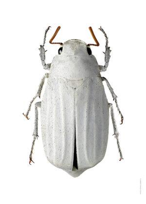 Melolonthidae sp. A4 utan