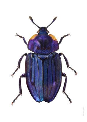 Necrophila renatae A4 utan