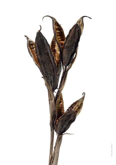 Iris seeds A4 utan