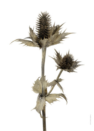 Silvermartorn, Eryngium giganteum A4 utan