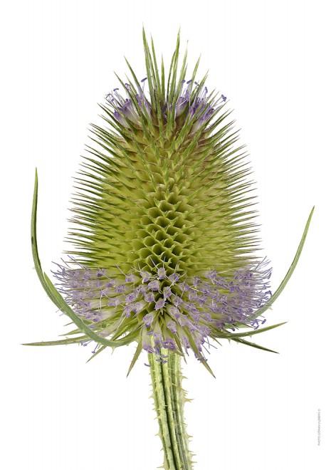 Kardvädd Wild teasel blooming A4 utan
