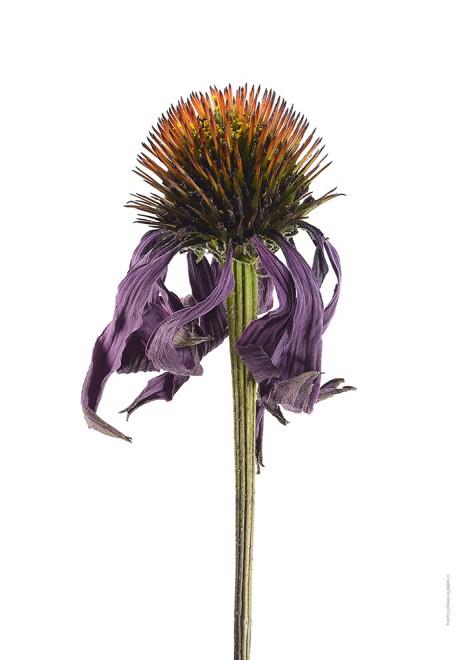 Solhatt Echinacea Purpurea Magnus vissen A4 utan