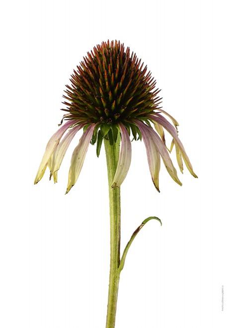 Solhatt Echinacea Purpurea Pink Tip A4 utan
