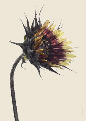 Solros Helianthus bursting A4 med 7900