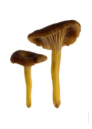 Trattkantarell, Craterellus tubaeformis duo A4 utan
