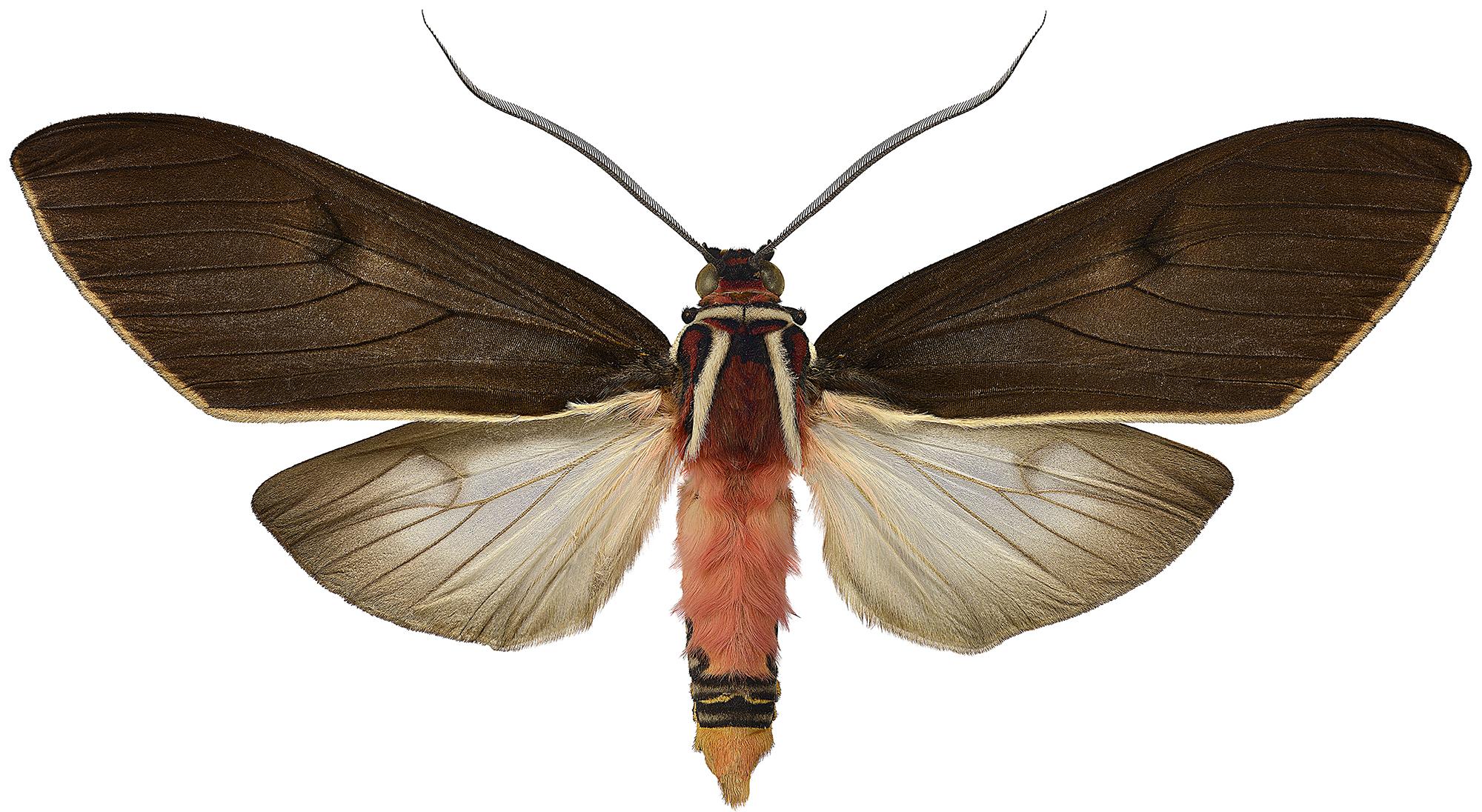 Amastus episcotosia 2000px