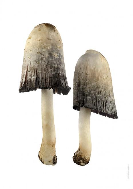 Fjällig bläcksvamp, Coprinus comatus duo A4 utan