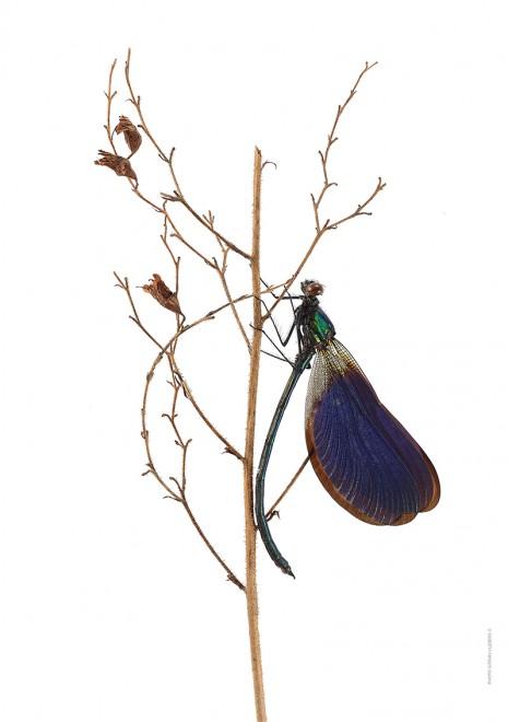 Calopteryx splendens A4 utan