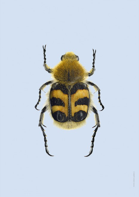 Pasteller skalbaggar8