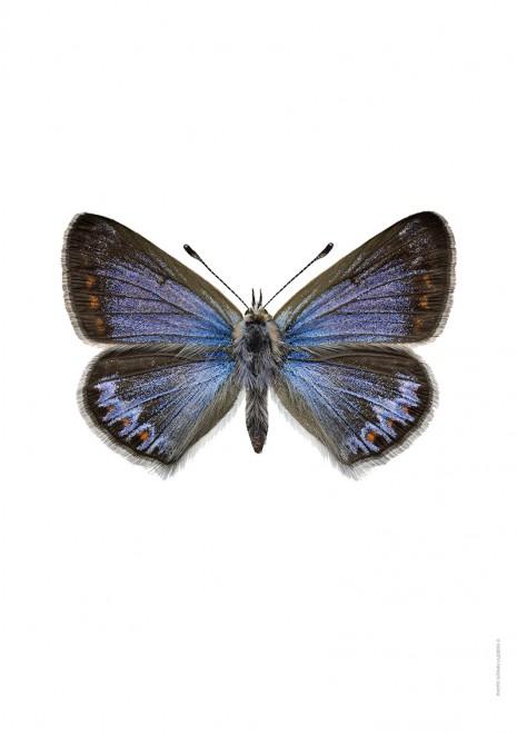 Puktörneblåvinge Polyommatus icarus A4 utan