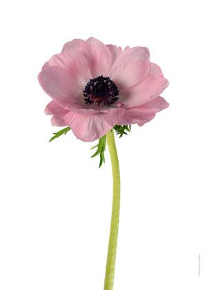 Anemon rosa A4 utan