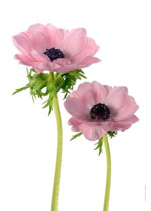 Anemon rosa duo A4 utan
