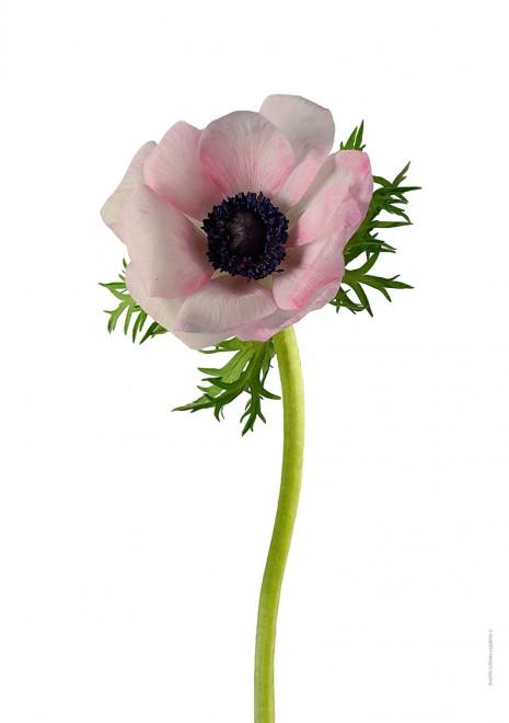 Anemon rosamelerad A4 utan